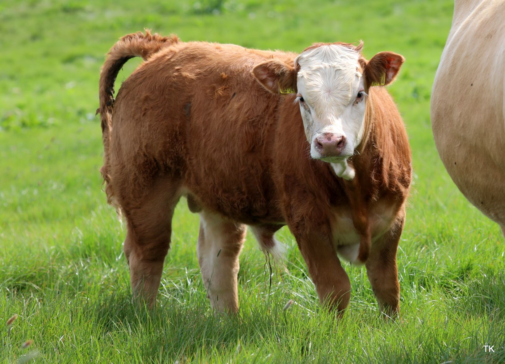 Simmental cattle, suckler farming