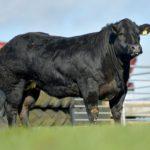 Jalex Select auction, springers for sale, in-calf heifers for sale, Jalex Herd, Jalex sale 2021