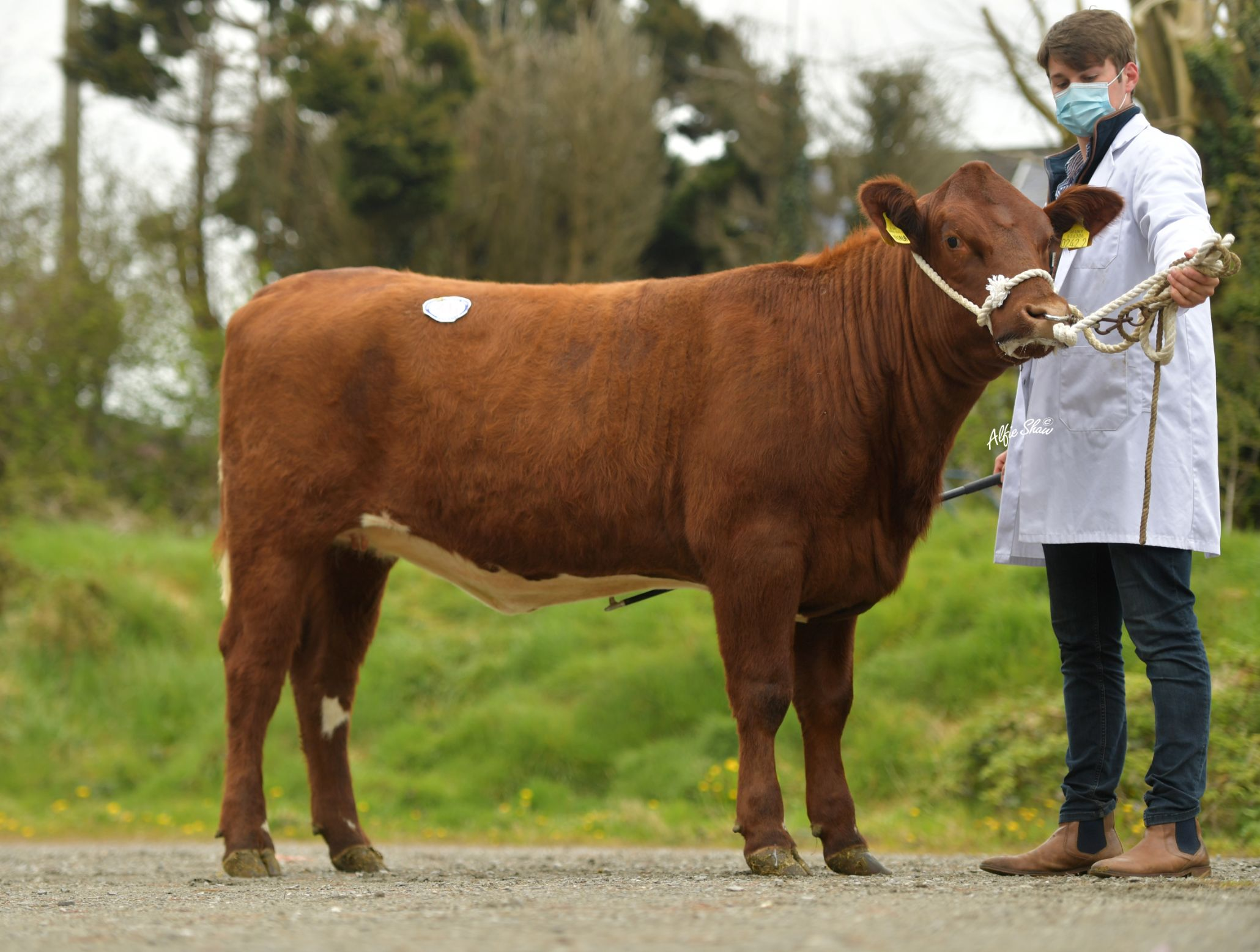 Beef Shorthorn, cattle prices, mart reports, mart prices