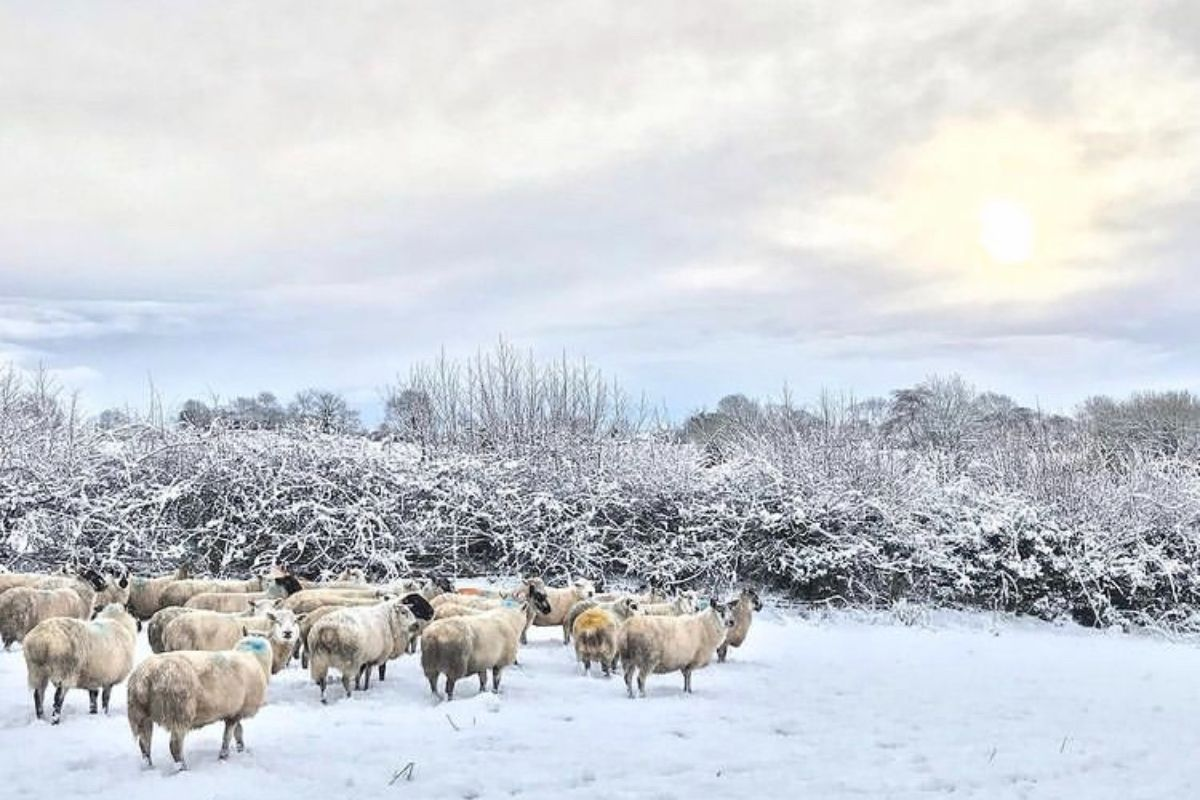 sheep, sheep farming, Northern Ireland, farming news