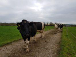 dairy cows, dairy farming, lameness