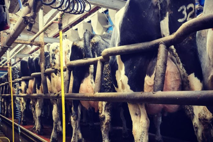 DeLaval, milking parlour, milking cows, dairy cows, Holstein Friesian