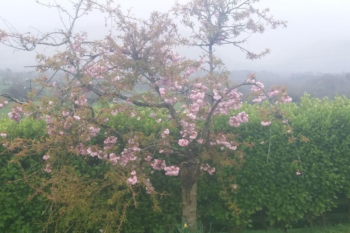 Cherry Blossom, summers, trees, gardening