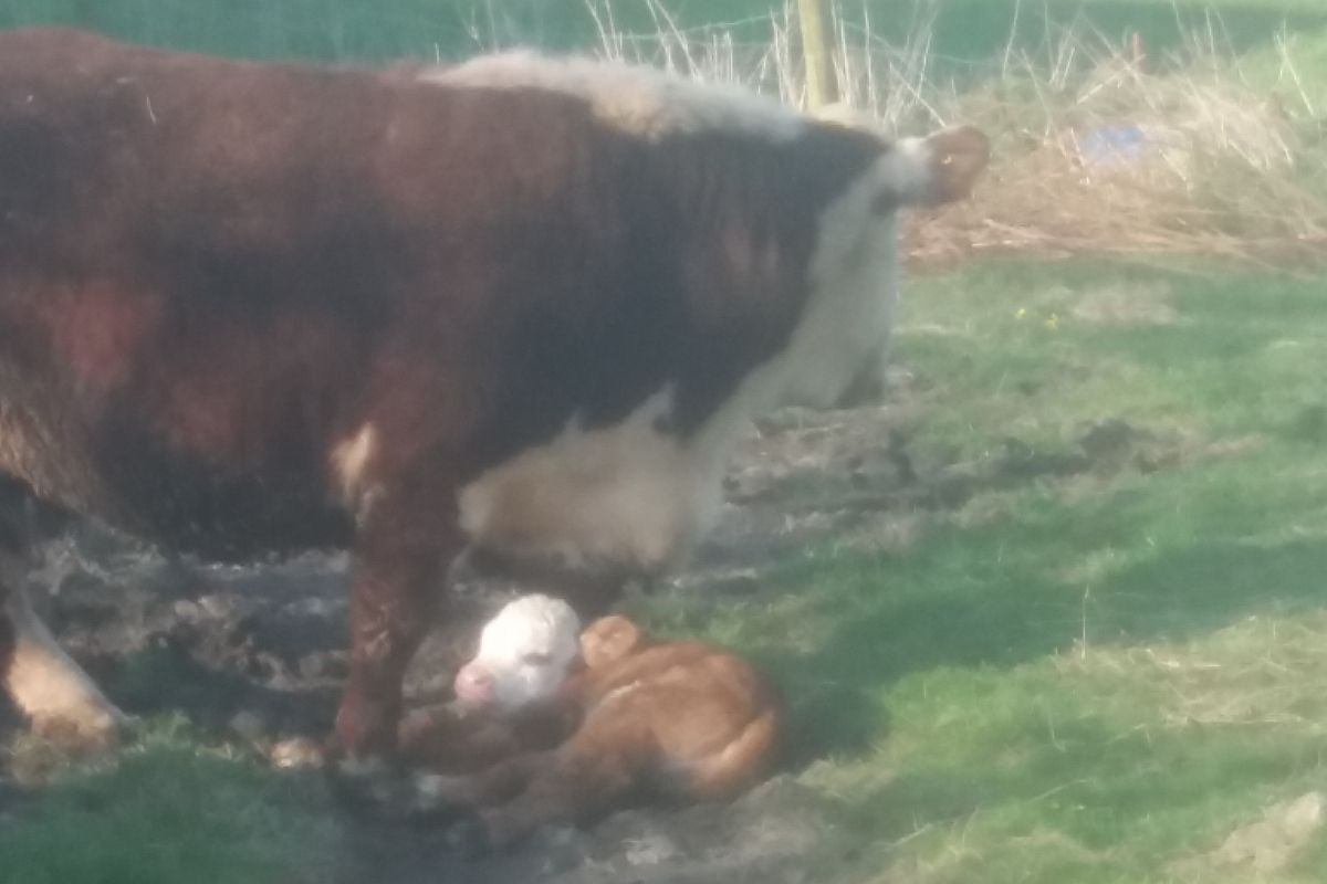 Hereford cow, cow and calf, suckler farming, farming news