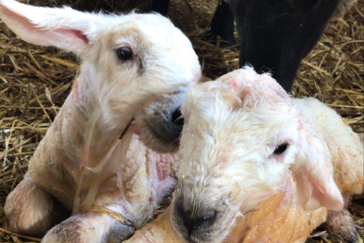 sheep, lambs, lambing 2021, young farmer, Farmer's Diary,