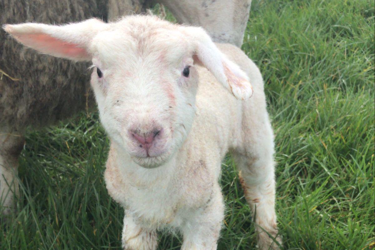 Sheep, sheep farming, sheep farmer,