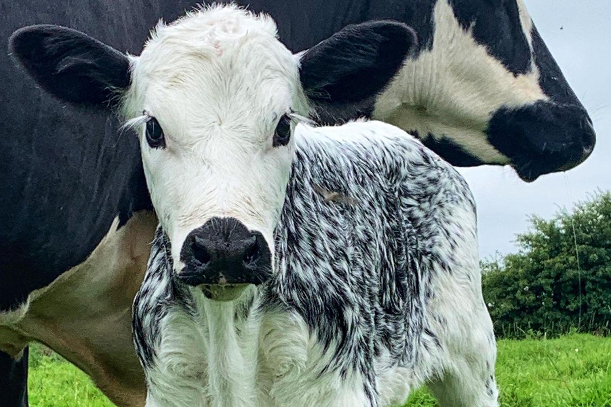 Rachel Armour, roan heifers, Irish Moiled cattle,