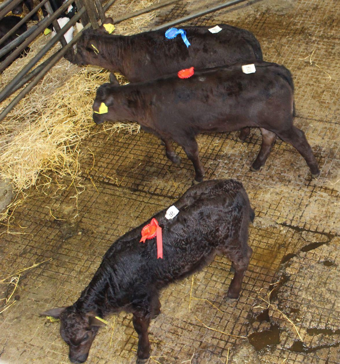 Limousin-cross, dairy news, dairy farming