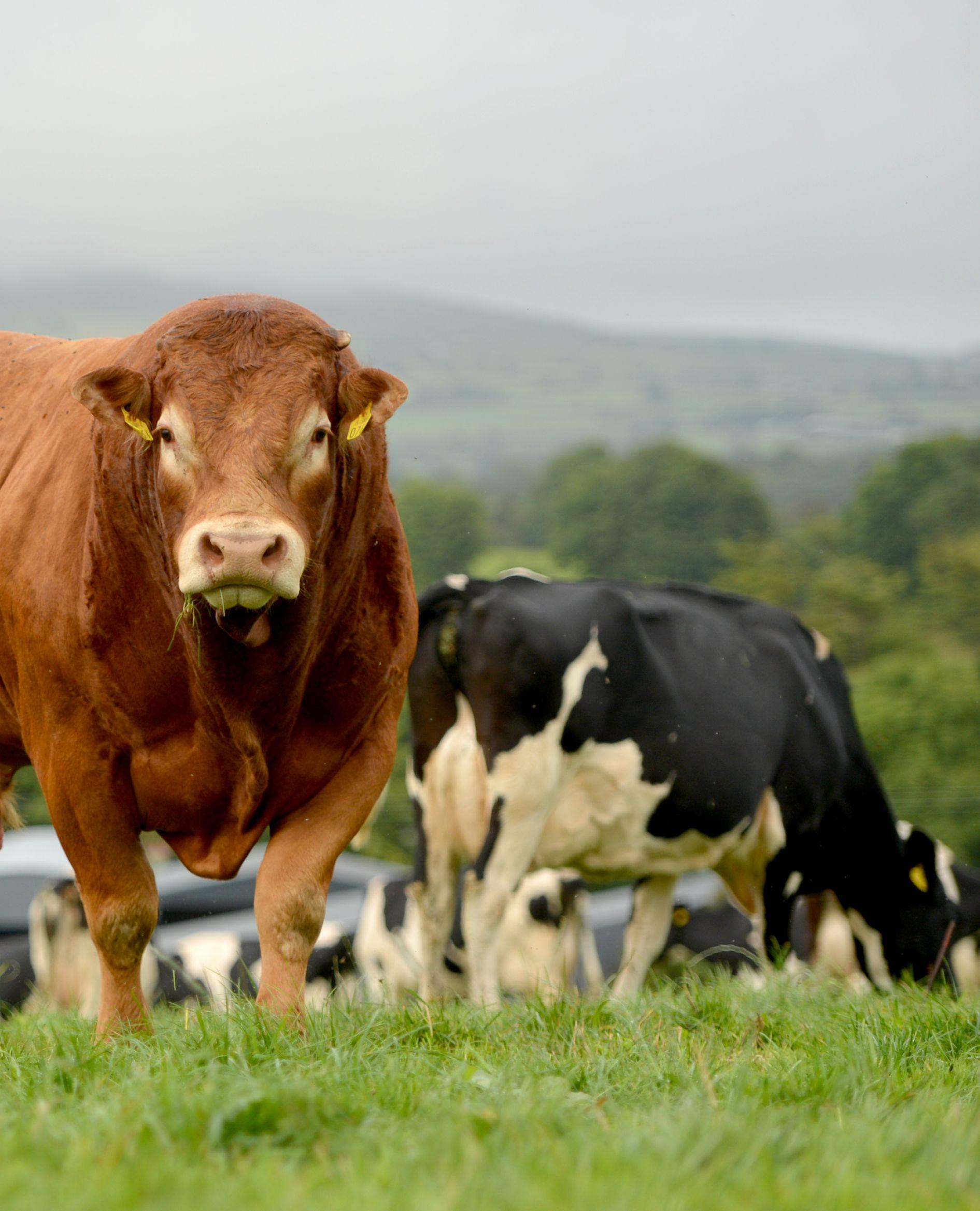 Limousin cattle, Irish Limousin Cattle Society, farming news