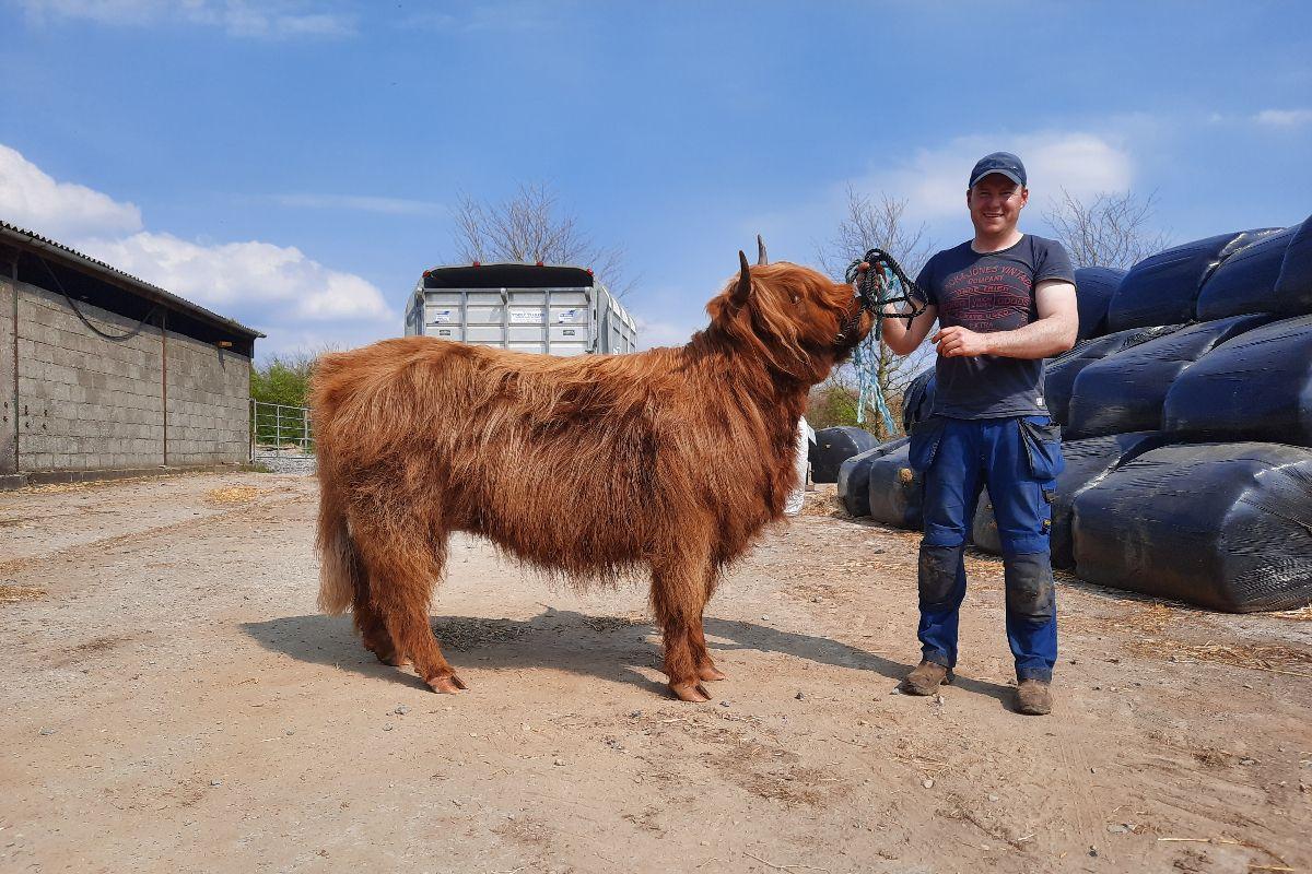 Highland cattle, Longford, Scottish Highlands,