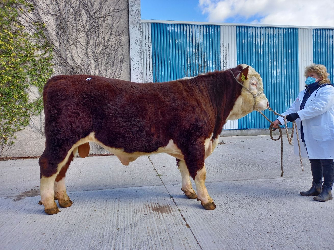 Ballyraggan Upstart 976th, Hereford bull, Nenagh Mart, beef prices