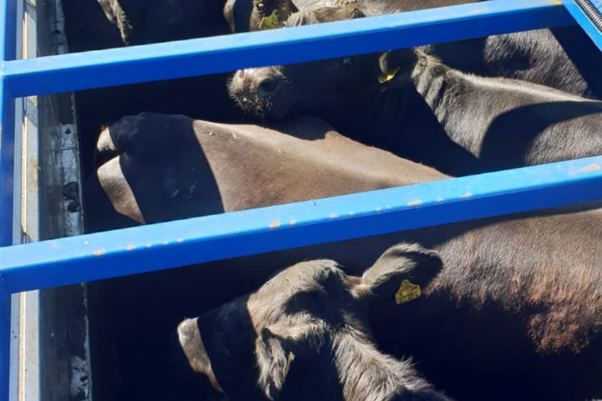 Michael O'Brien Livestock Haulage, cattle, beef prices, beef farming,