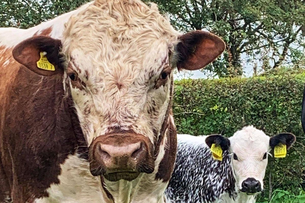 cattle, beef farming, beef farmers