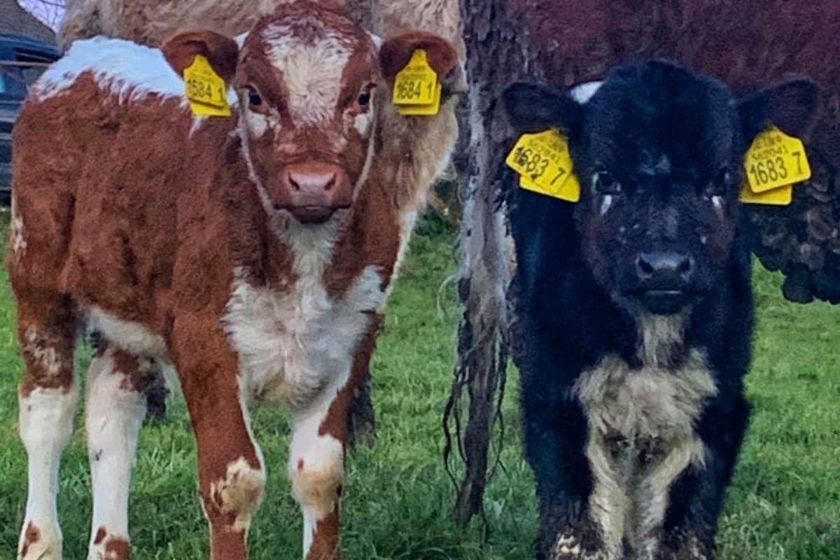 Irish Moiled cattle, beef farming, beef cattle, Farming news UK,