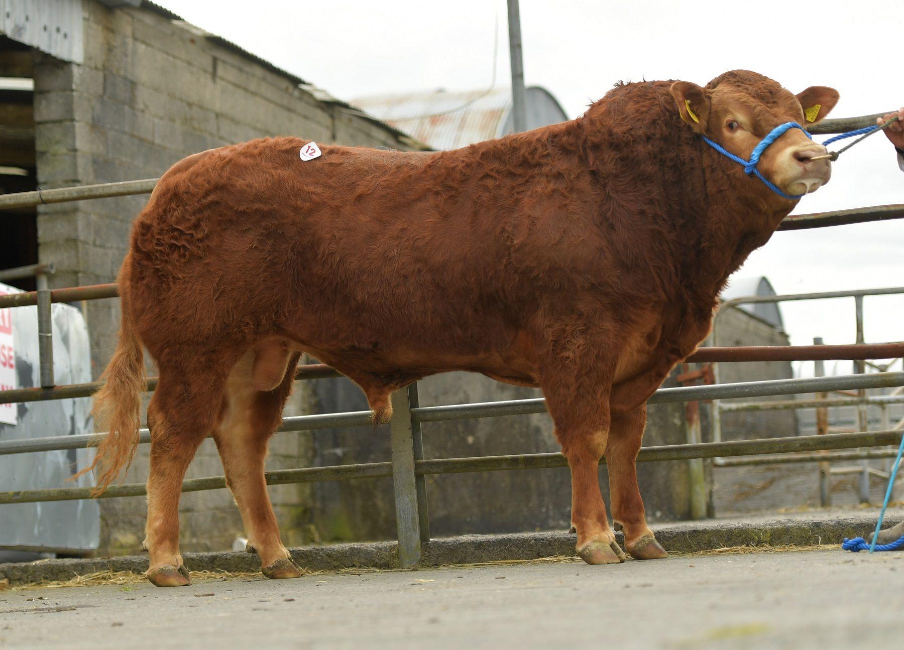 Limousin cattle, Shannon Paero, Limousin bulls, bull sales