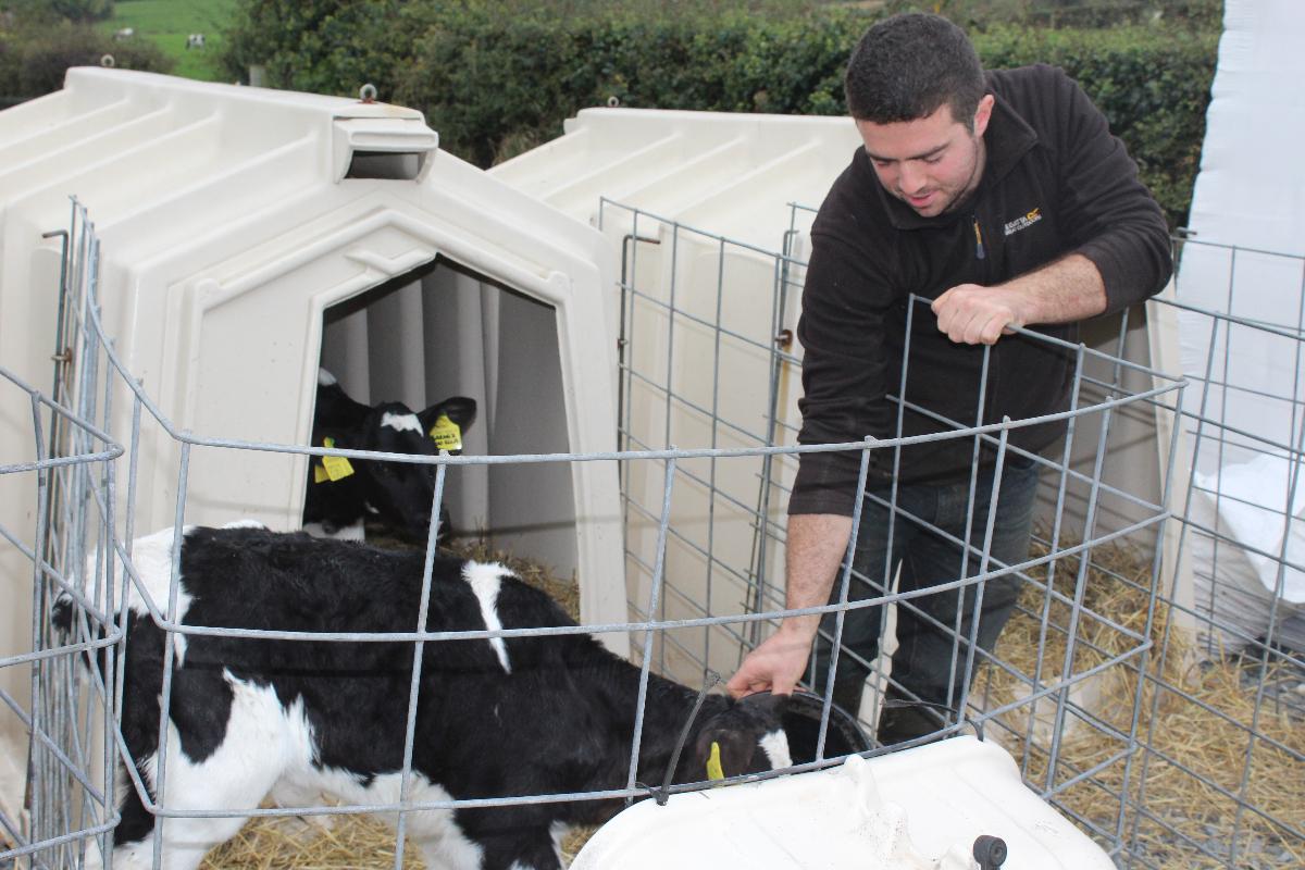 Ards Holsteins, calf rearing, calf feeding, calves, Northern Ireland, dairy farming
