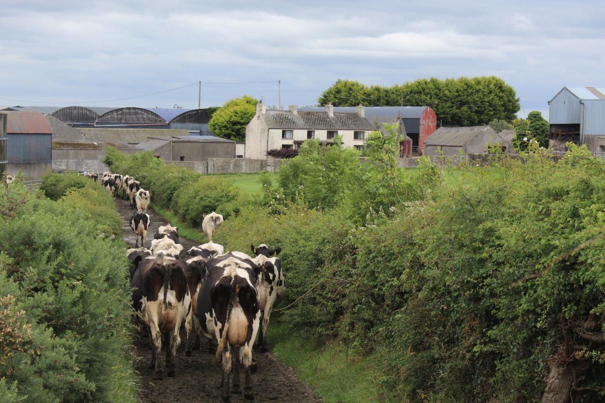 dairy cows, dairy farming, milking, milking cows,