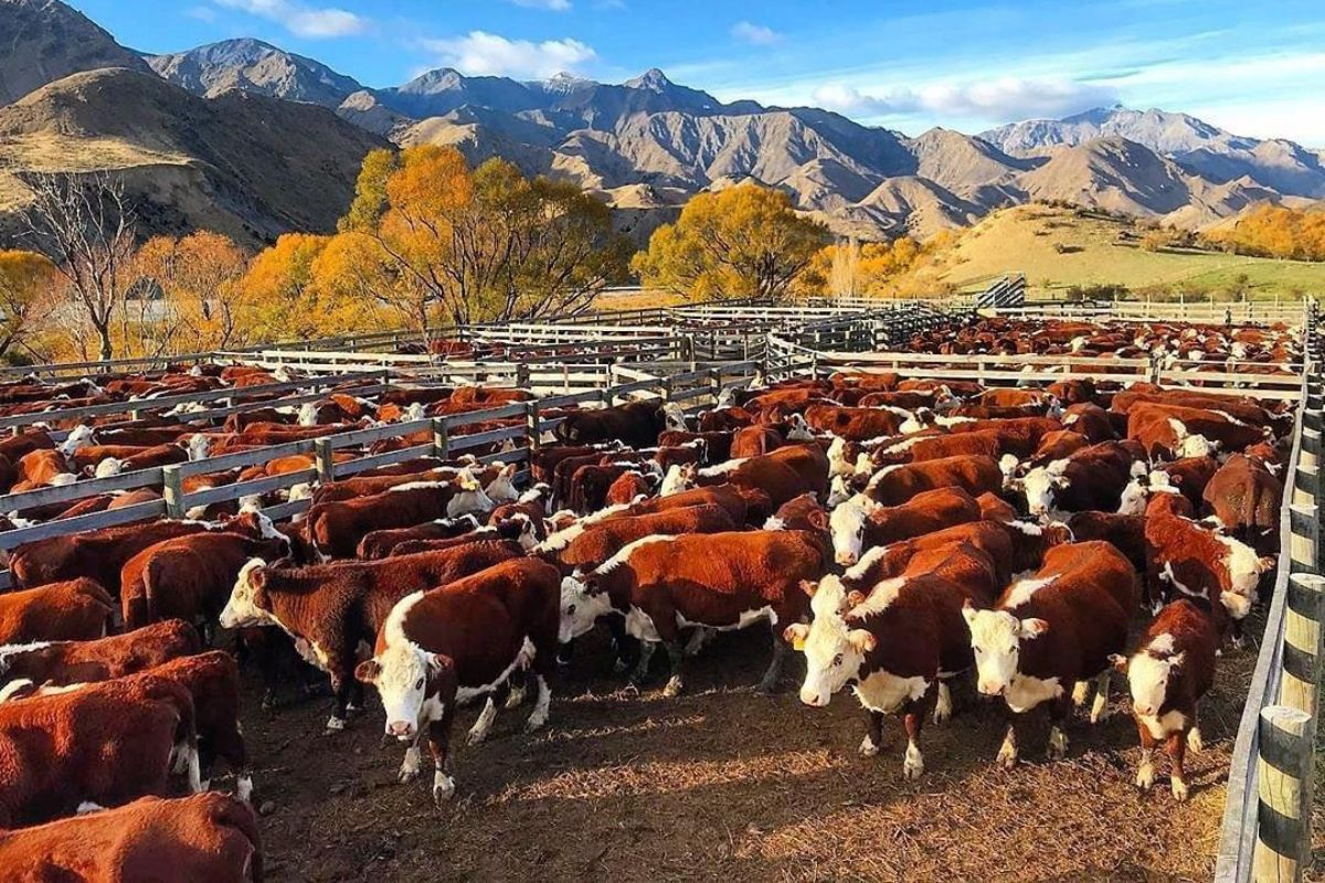 Hereford cattle, farming news, farming