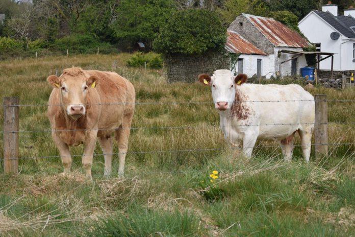 Suckler farming, sucklers cows,