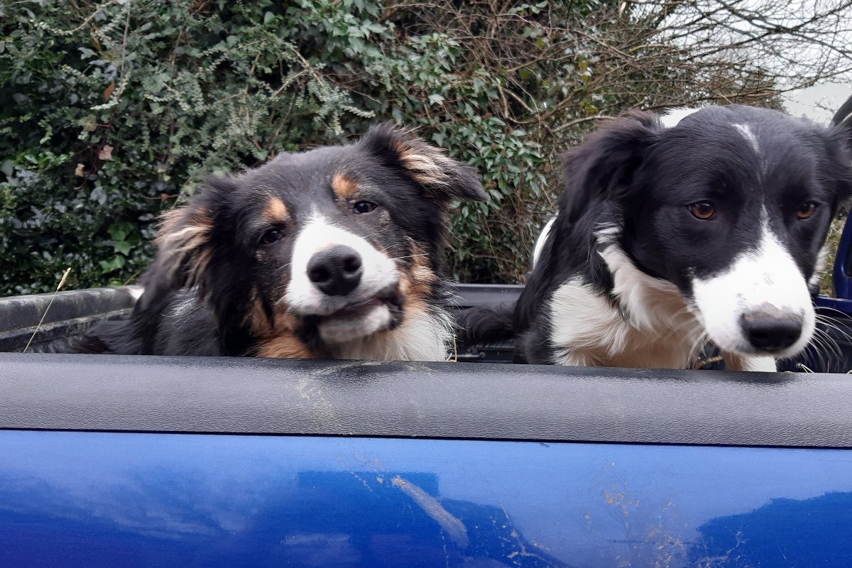 sheepdog, sheep dogs, sheep farming,