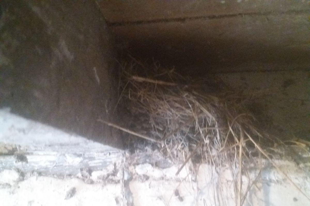 Swallow, Swallow's nest
