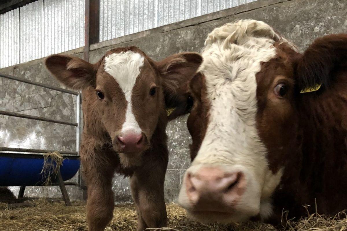 Simmental cattle, suckler farming, sucklers,