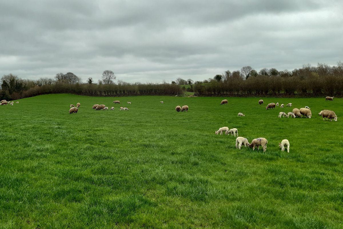 sheep, sheep farming, Farmer's Diary, Clodagh Hughes