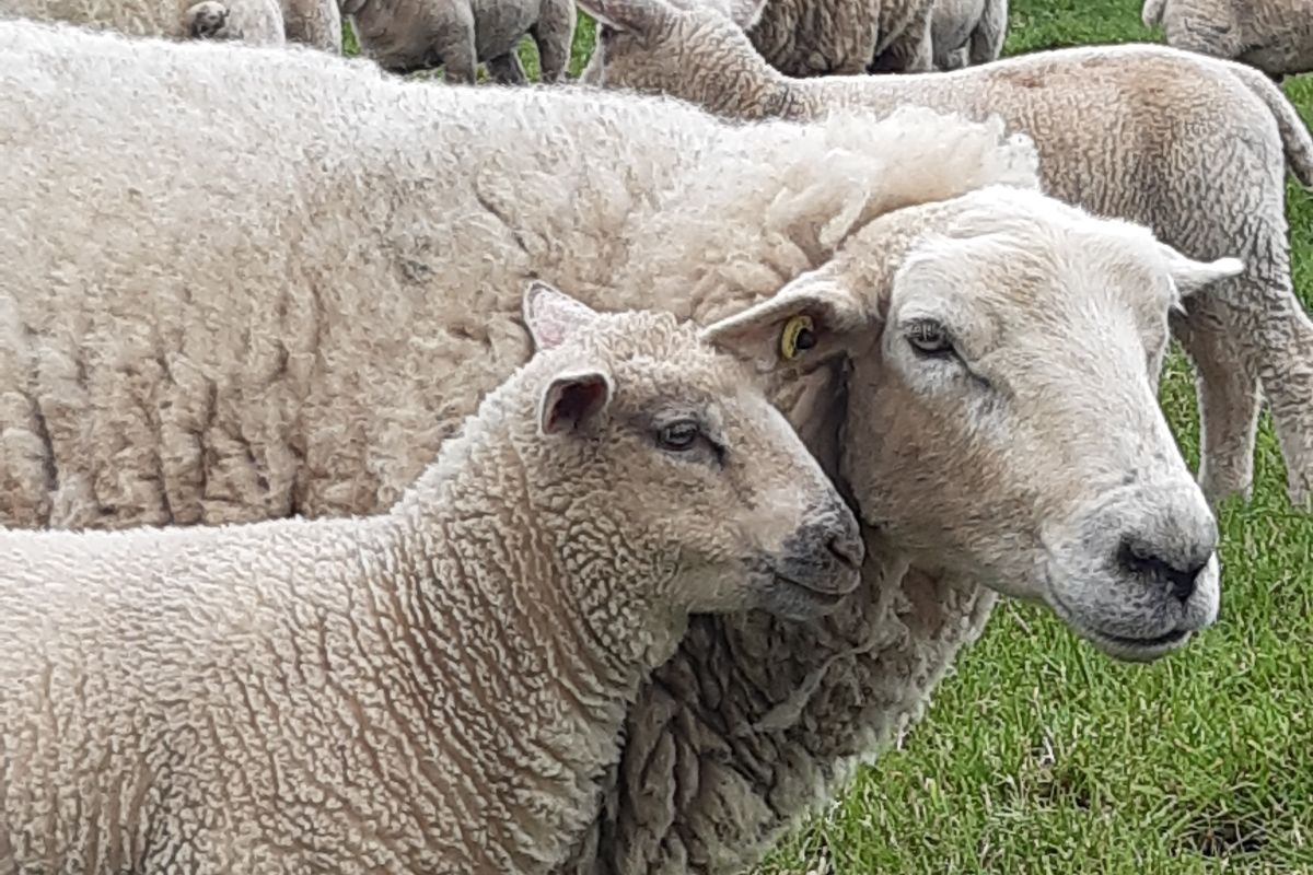 sheep, sheep farming, sheep farmer, farm girl