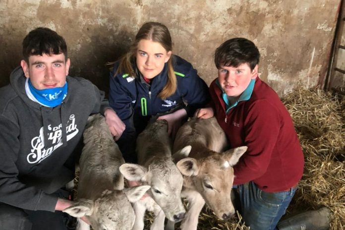 triplet calves, Charolais cattle, Angus cattle, calving 2021