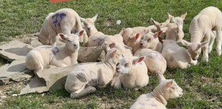 sheep, sheep farming sheep farmer, Texels
