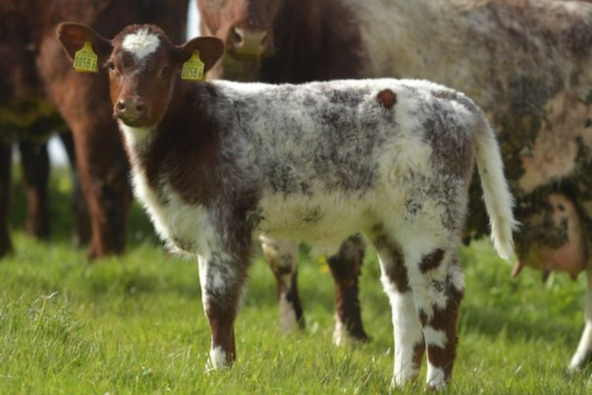 Caramba Leyenda Del Norte, beef farming, AI bulls, farming news, Beef Shorthorn cattle