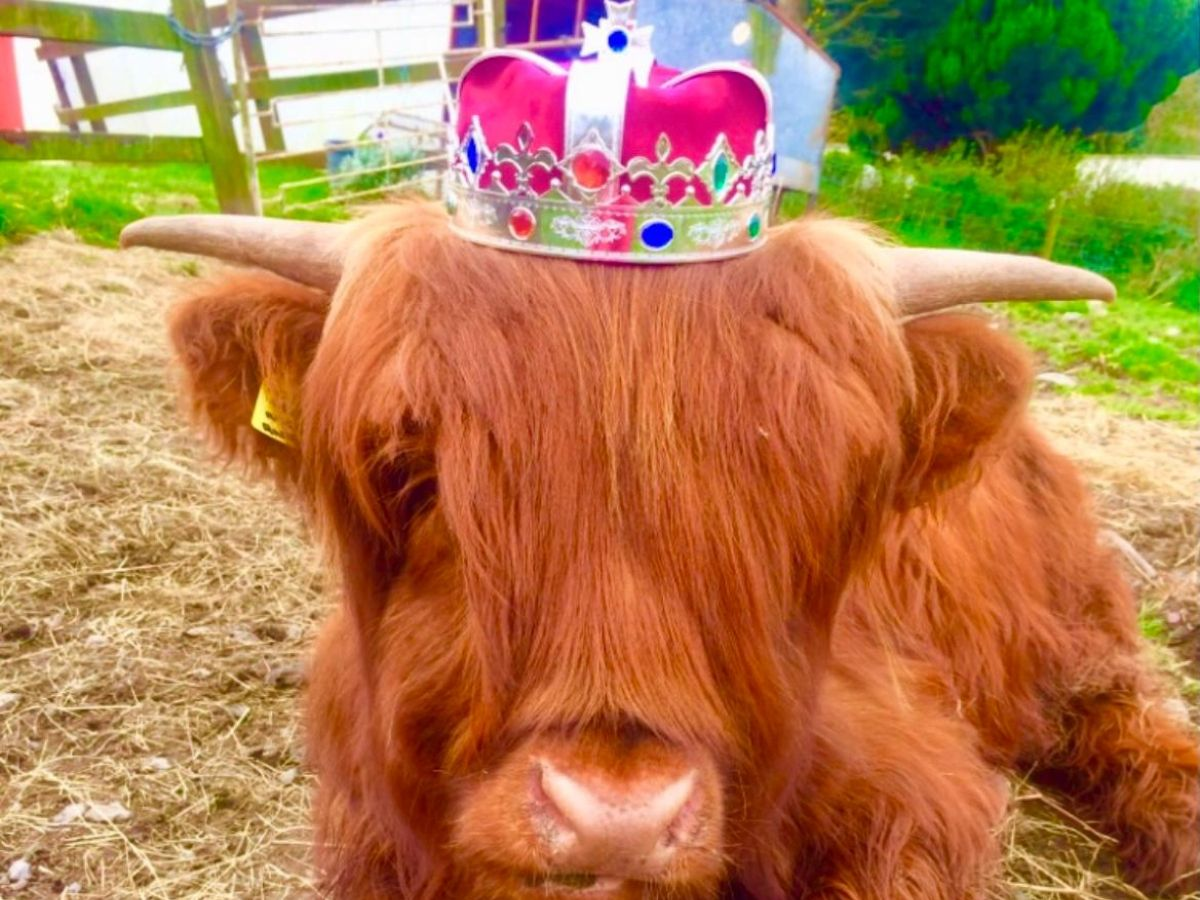 Princess Helena, Michelle Shaughnessy, Highland cattle