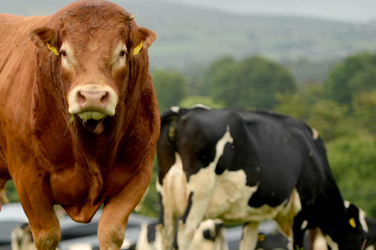Limousin on dairy herd, Limousin cattle, bulls for sales,