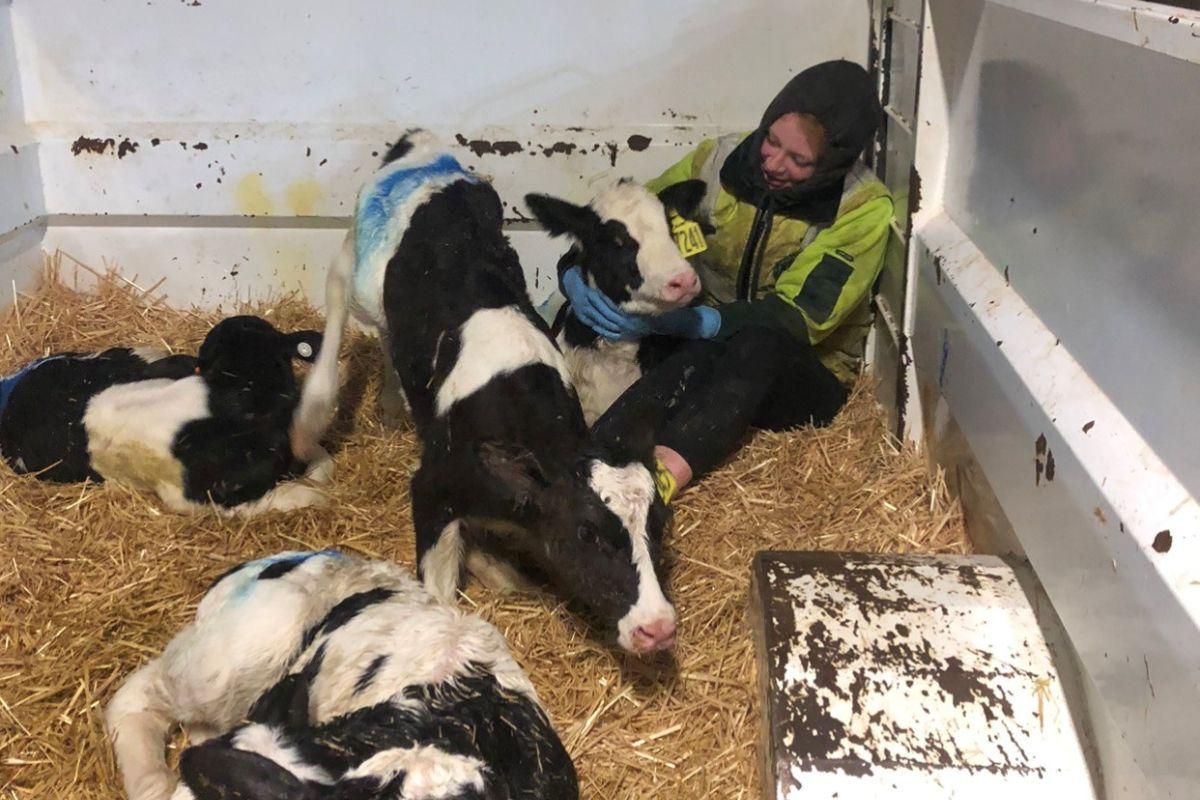 calf-rearing, dairy farming, dairy farmer, Holstein Friesian,
