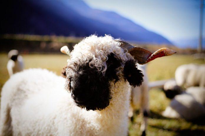 Valais Blacknose, sheep, sheep farming, farming news