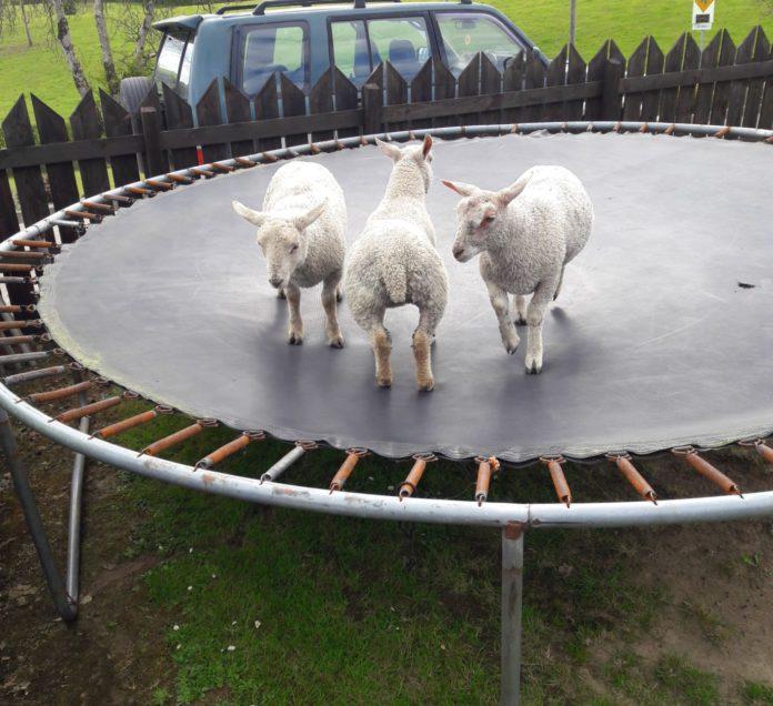 sheep, sheep farming, sheep farmer, farm girls, women in ag