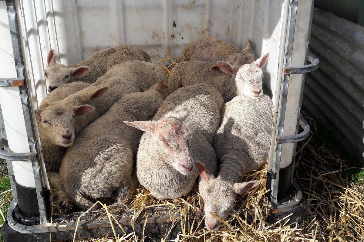 sheep, sheep farming, sheep farmer, sheep