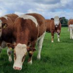 Simmental cow, Simmental cattle, farming news, cattle for sale