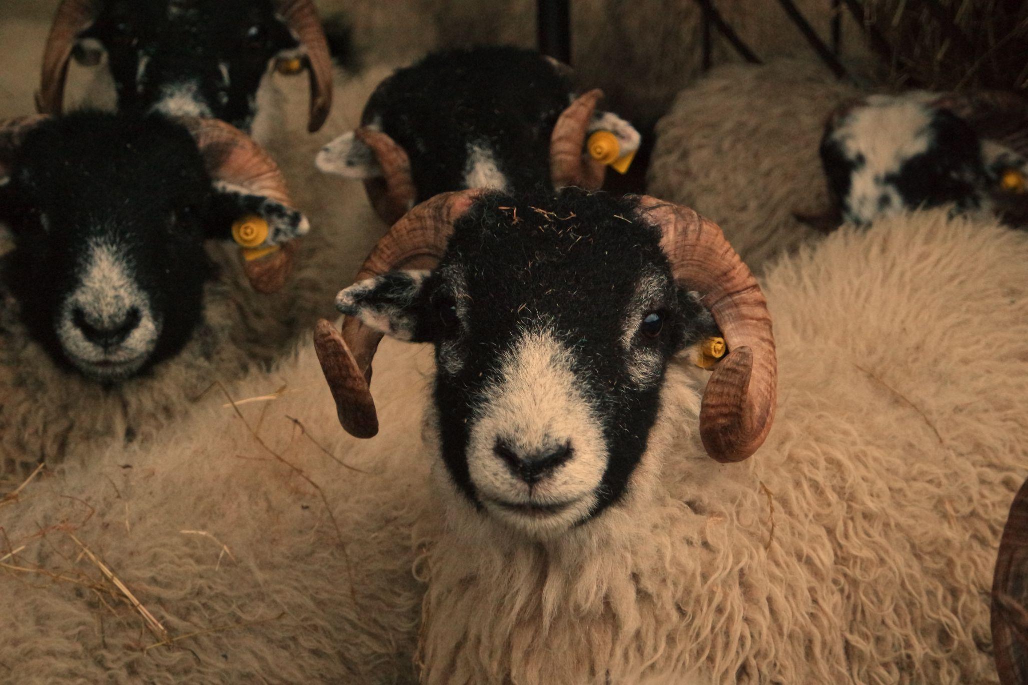 sheep, sheep farming, sheep farmers, sheep prices, lamb prices