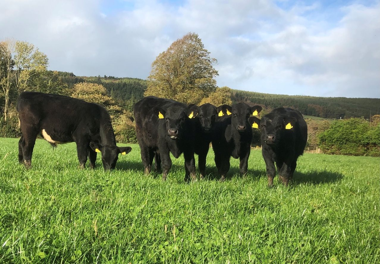 Abbey Angus, beef farming, beef farmers, beef prices, Angus Cattle, Certified Irish Angus Beef Schools' Competition
