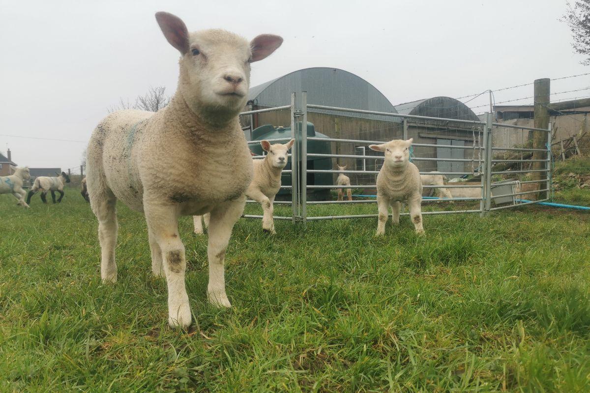 mixed farmer, farming news, poultry farming, sheep farming