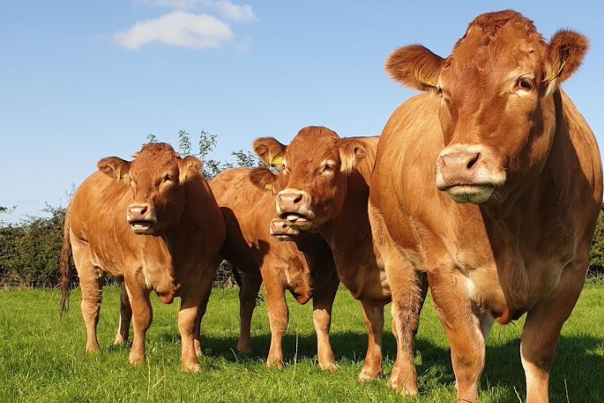 Hitchetts Hill Limousins, Limousin cattle, farming news, suckler farming,