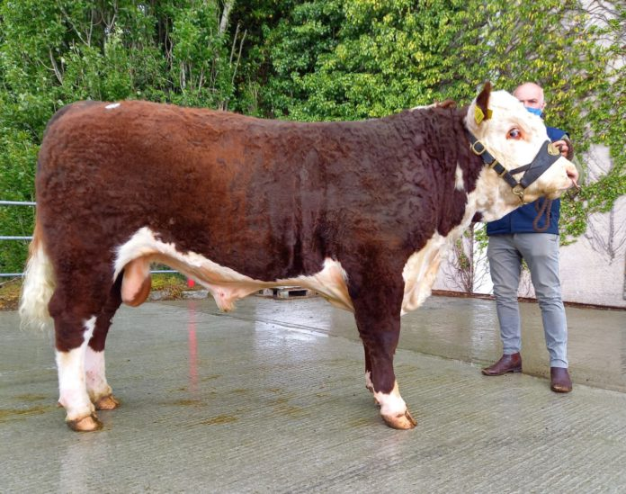 Moyclare Seamus, Hereford cattle, farming news, beef prices