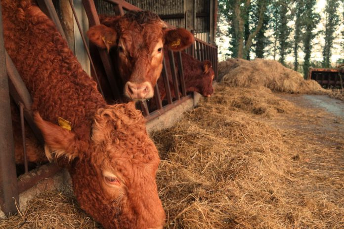 Limousin cattle, suckler farming, beef farming