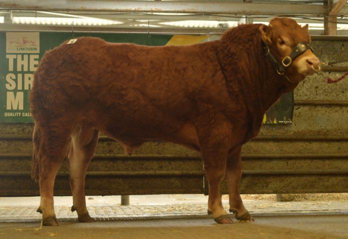 Grangeford Pablo Maldini Et, Limousin cattle, mart reports, sale reports, Limousin bull prices, beef farming