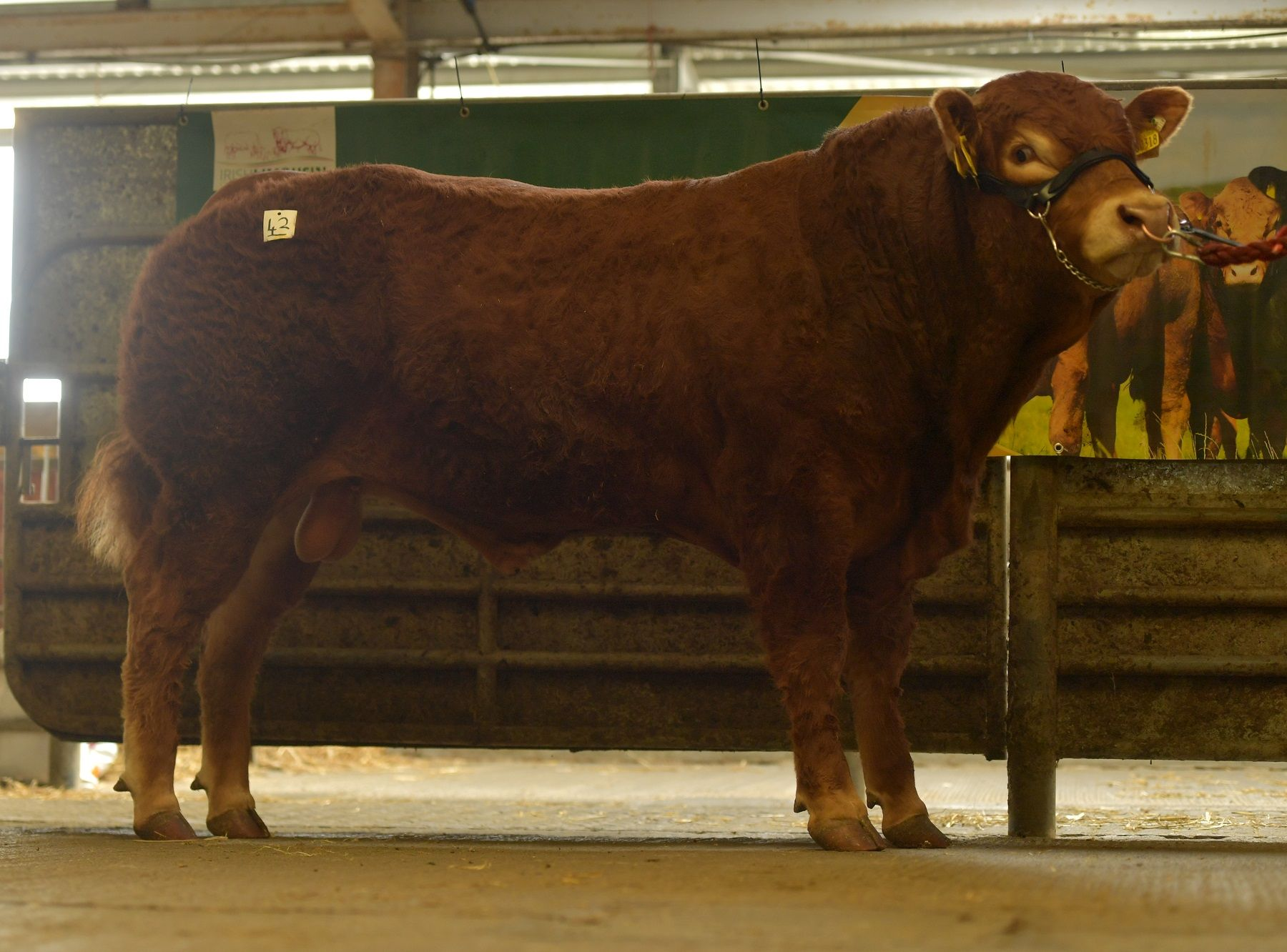 Clonbonny Rocky, Limousin cattle, mart reports, sale reports, Limousin bull prices, beef farming,
