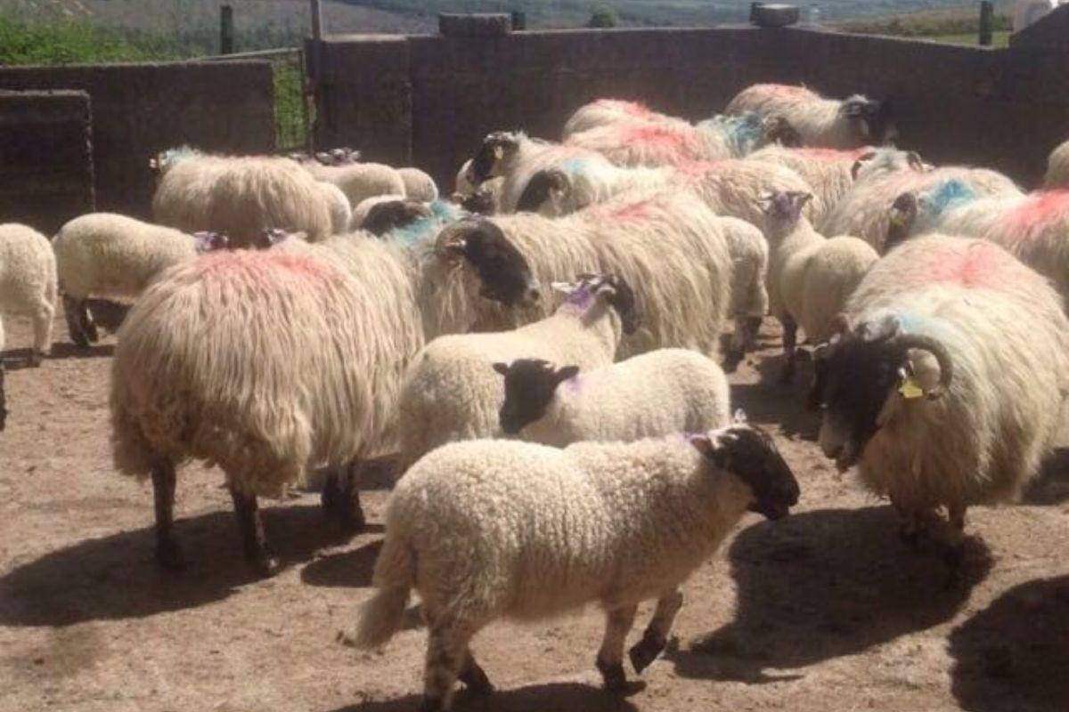 Women in agri, women in farming, sheep farming, sheep farmer, sheep farming