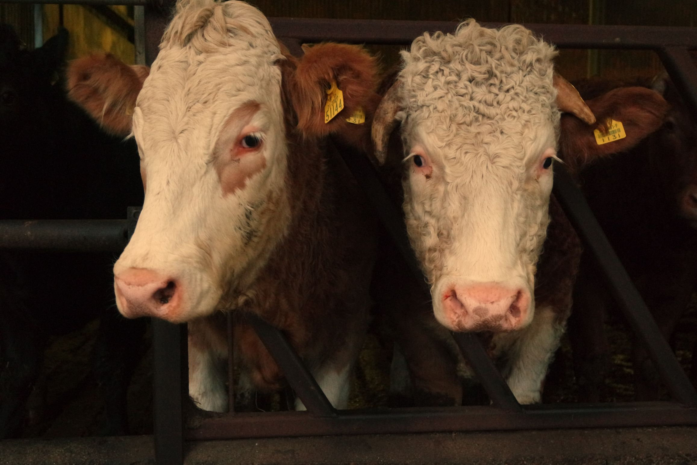 Simmental cattle, beef farming, beef prices, beef farmers