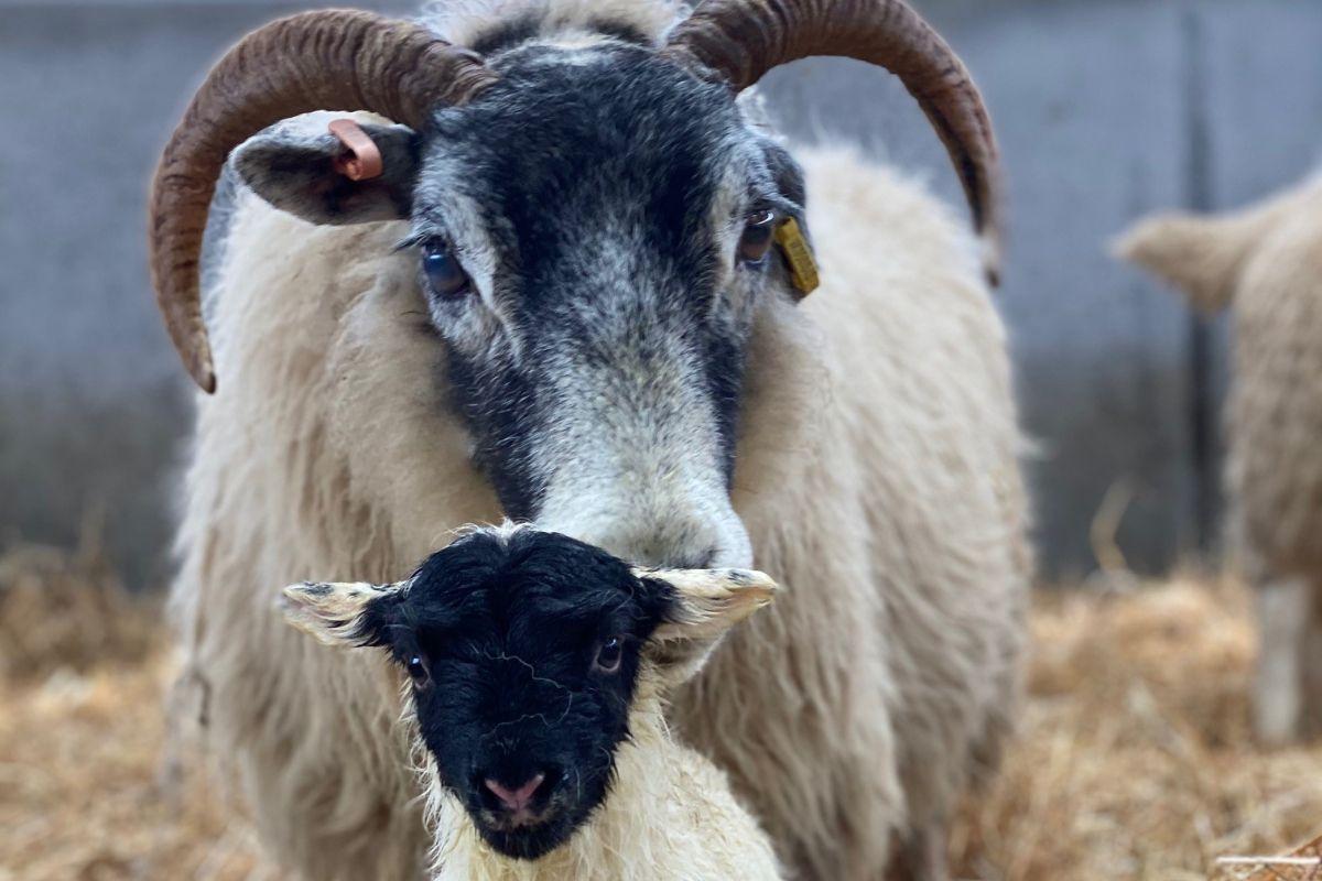 sheep, sheep farmers, sheep farming