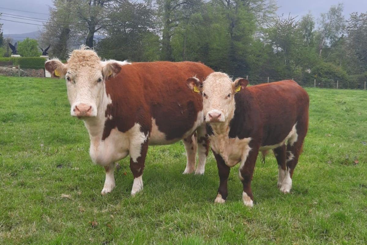 dairy farming, dairy farmers, farming news, dairy news, Clonroe Herefords, Hereford Cattle